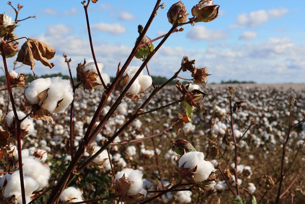 Campo de plantação de algodão em destaque